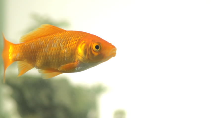 Slow Motion Of A Single Goldfish Swimming Peacefully. Swims In From Out Of Focus