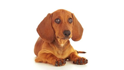 White background. Dachshund puppy looking up