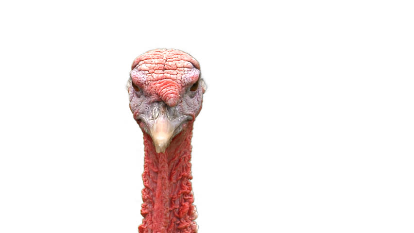 A Turkey Head On White Stock Footage Video 100 Royalty Free