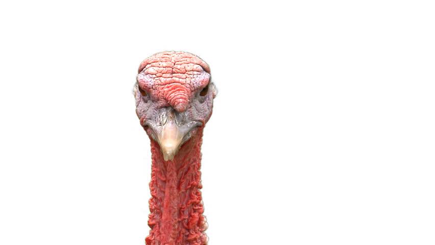 Stock video of a turkey head on white looking | 4645619 | Shutterstock