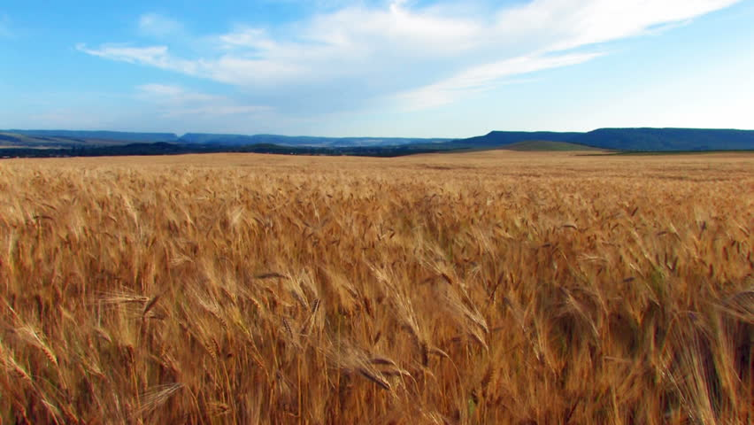 yellow ripe ears of wheat move from the wind