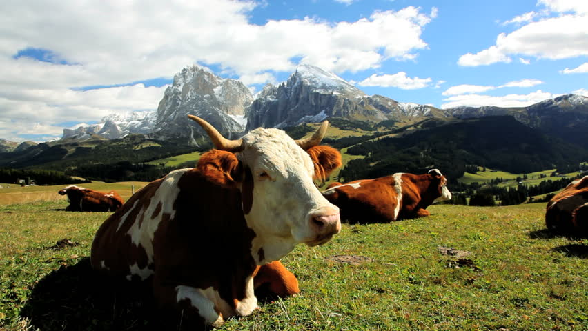 Close up of a group of cattle grazing in an alpine meadow in Seiser Aim under the Italian Dolomites