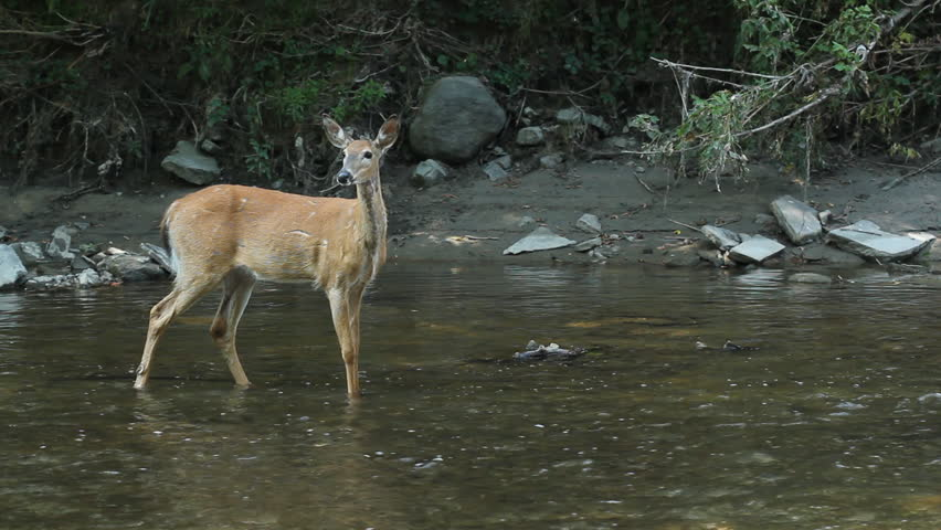 Deer in the river female white tailed deer in the river rough deer in the river female white tailed deer in the river rough marks and scarring on her hide sound of don valley parkway in the background voltagebd Image collections