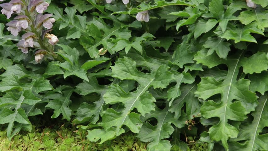Bears Breeches Acanthus Hungaricus Stock Footage Video 100