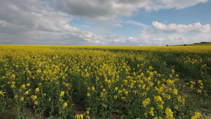 Slider footage of rows and rows of field of Oil seed rape under blue sky, North Wiltshire, UK