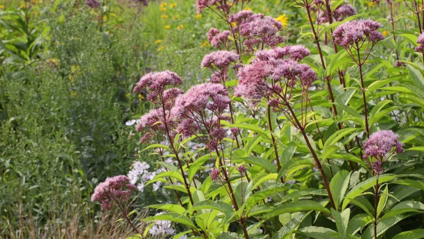 Header of eupatorium