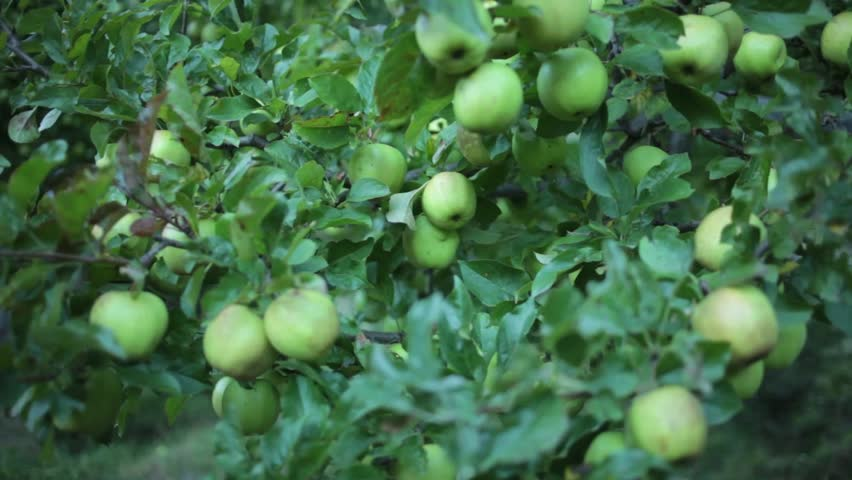 Apples trees of Marpha, Mustang, Nepal. Marpha is also know as the apple capital of Nepal and produces one of the best qualities of apple.