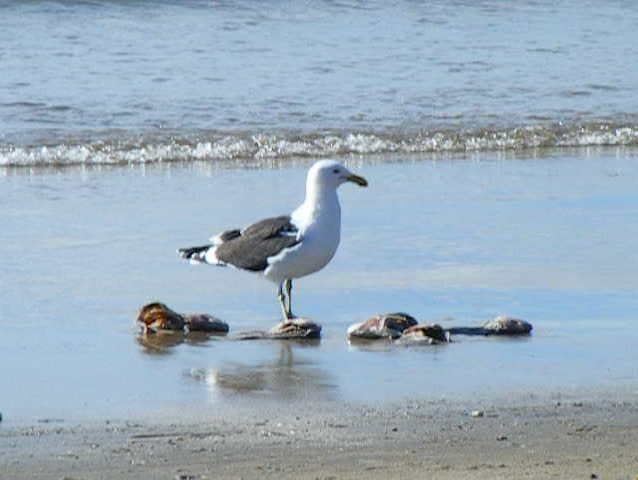 Gull feeding at the beach