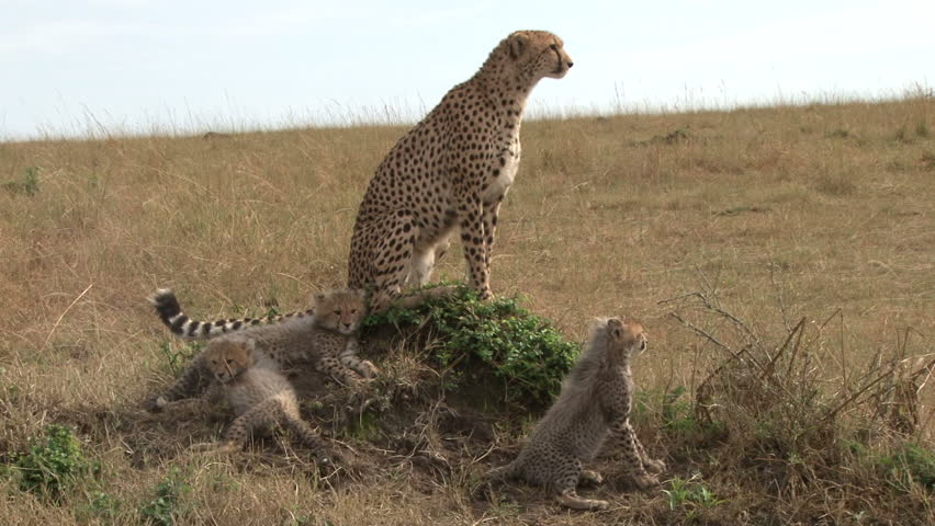 cheetah and babies 1.