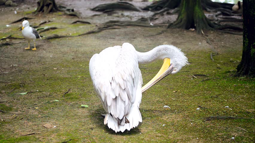 White pelican cleaning its feathers