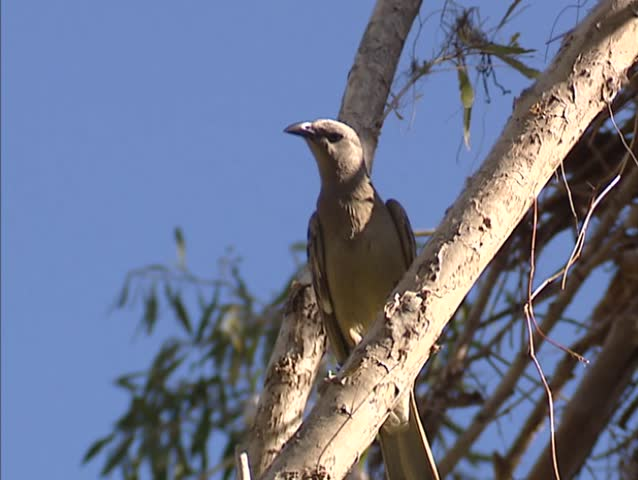Great Bowerbird (chlamydera nuchalis) perched on branch and flies up. Austriala, Northern Territory.