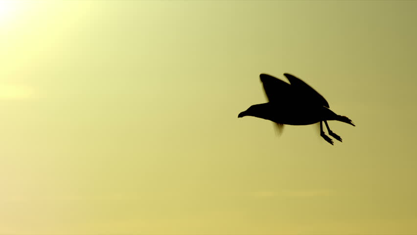 Flying silhouetted seagull crosses in front of sunset sky. 240 fps slow-motion.