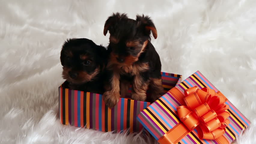 two puppies Yorkshire terrier in a gift box