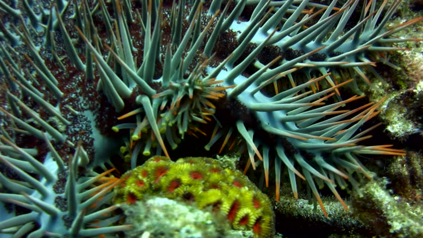 Header of Acanthaster planci