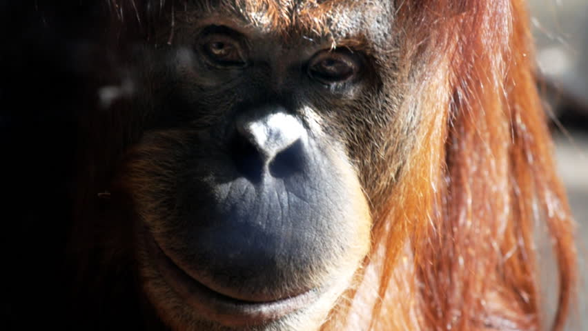 a young orangutan looks at the camera and smiles