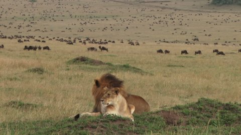 lion couple resting with wildebeests at the background
