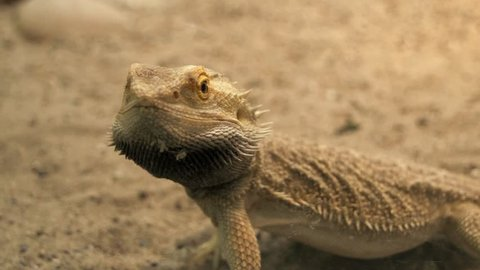 lizard close up. reptile. dry sand environment. wildlife nature