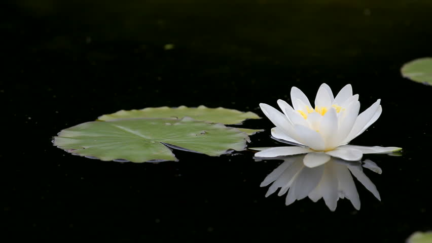 Gorgeous View Lonely White Water Lily Mirror In Black Hd Stock Footage Clip