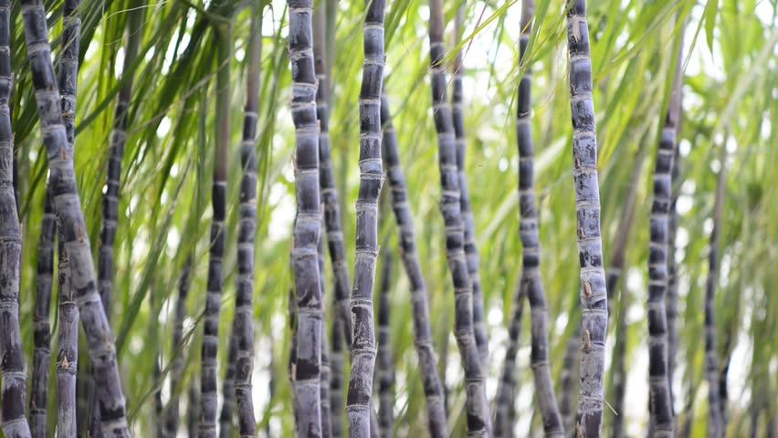 Image result for sugarcane in Kebbi