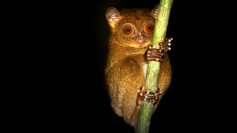 Endangered Western or Horsfield's Tarsier (Cephalopachus bancanus) (one of world's smallest primates) looks around at night in jungles of Borneo. They are nocturnal & use large eyes to hunt for prey.