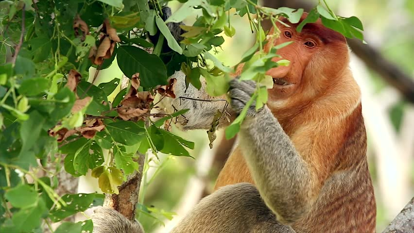 A highly Endangered Proboscis Monkey (Nasalis larvatus) eating leaves in a tree in the wild jungles of Borneo. Extreme close up macro of a big mature male with a huge nose.