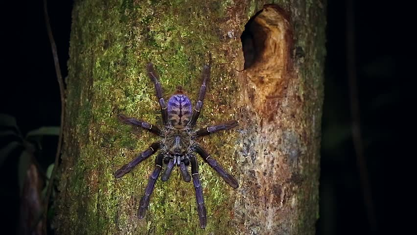 A HUGE Malaysian Earth Tiger Tarantula retreats to her tree burrow in the jungles of Borneo. Similar to Cyriopagopus thorelli, this unidentified species is beautifully colored in pink, purple & blue.