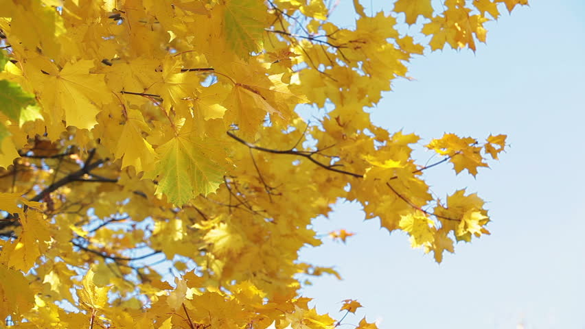 Image result for yellow maple leaves