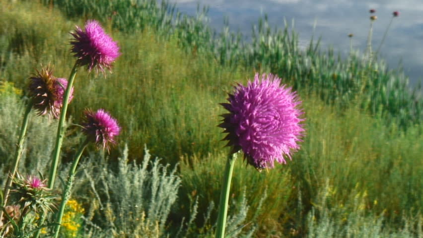 Nodding Thistle definition/meaning