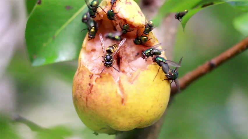 stock video of hymenoptera wasp bees and flies flocking
