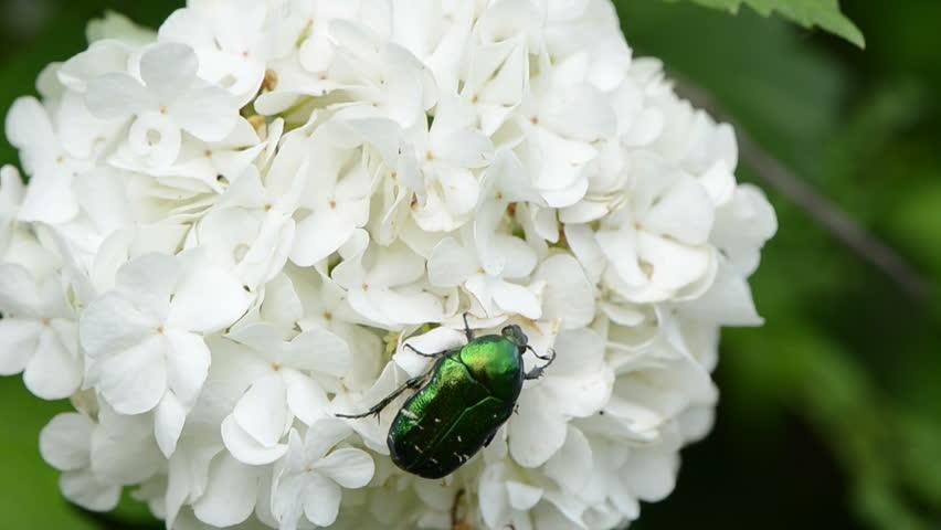 Header of Cetoniidae