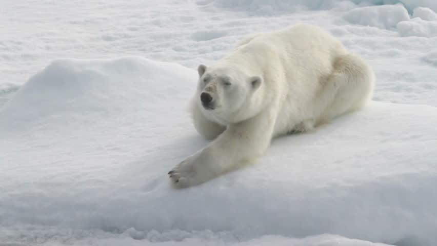 polar bear lying on sea ice north of svalbard hd stock footage clip