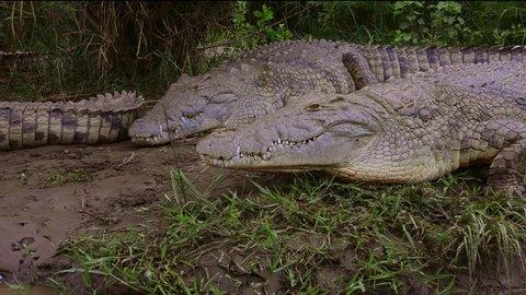 Arba Minch Lake Chamo Ethiopia Africa Crocodile Market crocs in water danger with close encounter