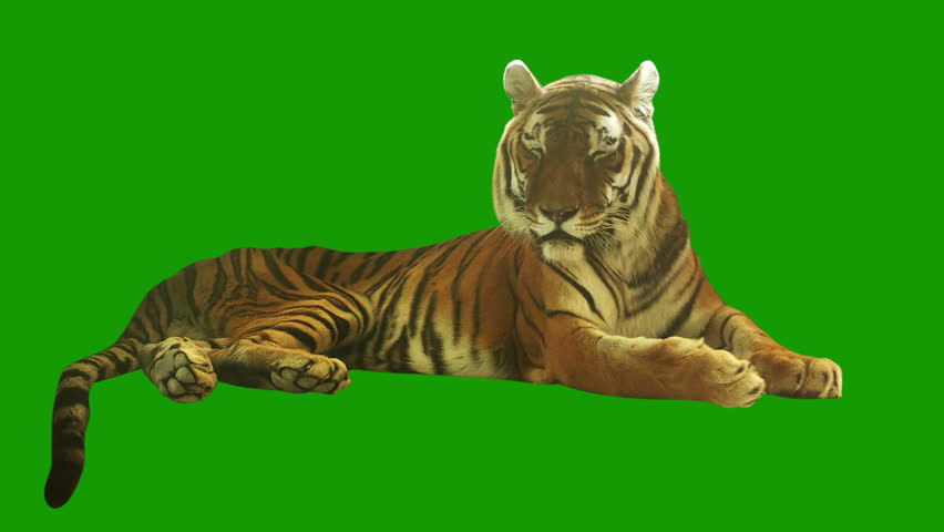 Tired tiger lying on green screen. Shot with red camera. Ready to be keyed. | Shutterstock HD Video #5100269