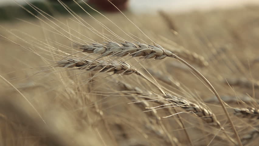 Ear of wheat In the men hands farmer | Shutterstock HD Video #5102162