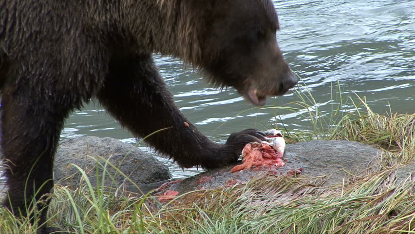 Extreme close up of brown bear using claws to eat salmon