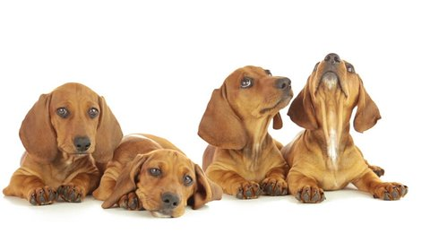 Young dachshunds are lying on a white background. Puppies are looking up, yawning, licking each other