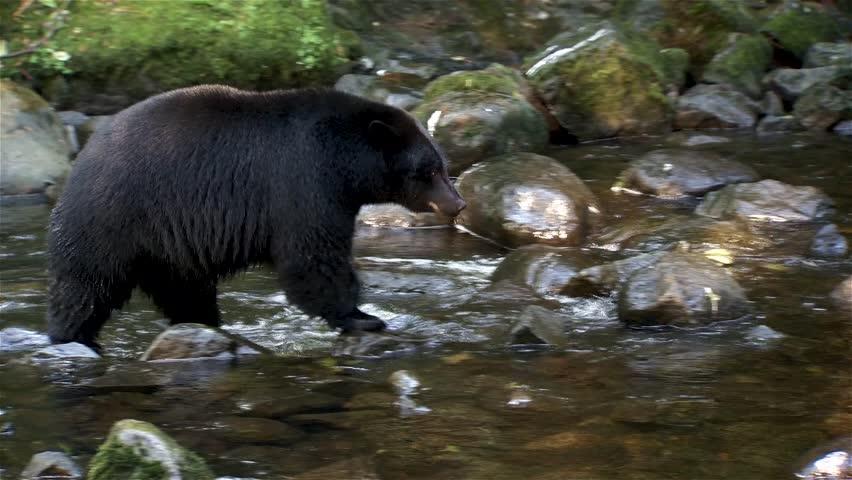 Black bear walking on rocks through a stream.