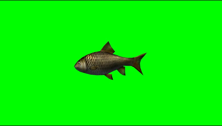 Fish swim animal green screen video Footage #5273489