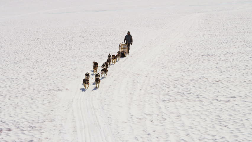 Working Alaskan Husky Dogs With High Endurance They Are