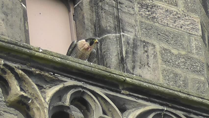 Peregrine Falcon on church ledge with pigeon in talons