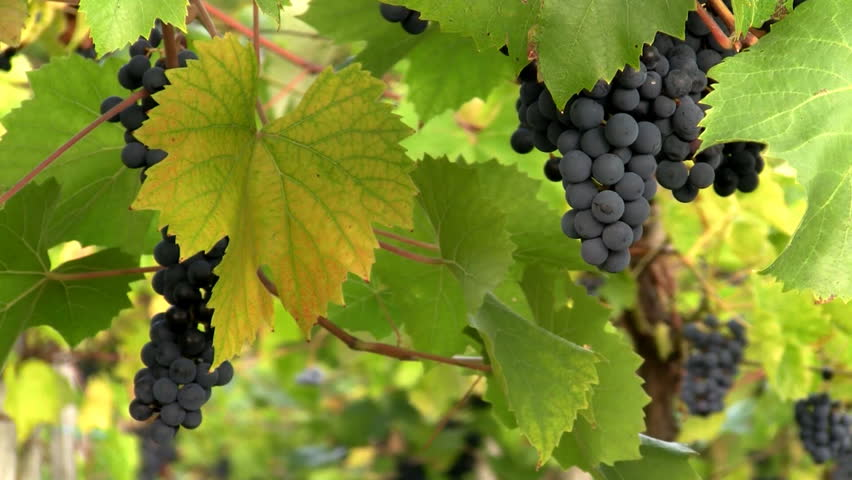 Closeup of dark grapes gently moving with the wind