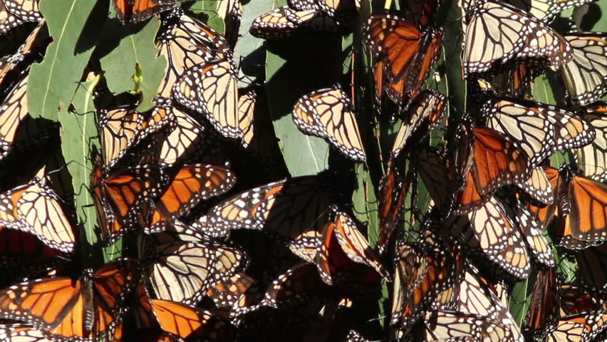 A cluster of Monarch Butterflies on migration along the California coast.