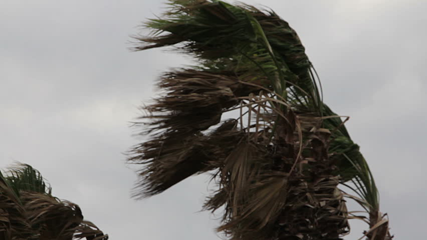 Storm winds blowing palm trees.
