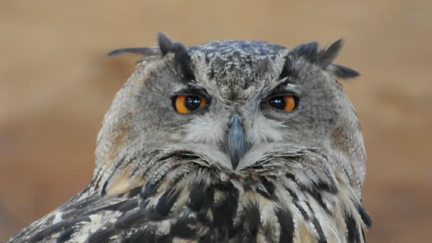Owl portrait #538459