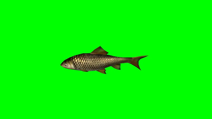 carp fish swimming  - seperated on green screen #5418059