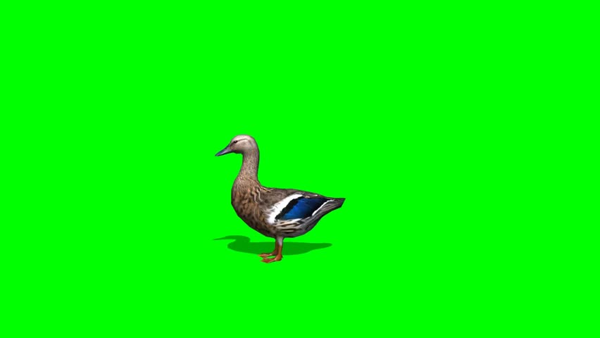 Duck Female walk - seperated on green screen | Shutterstock HD Video #5427905