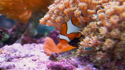 Clown fish. Clown fish playing in a living coral.