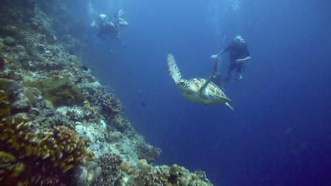 BUNAKEN ISLAND, SULAWESI, INDONESIA - DEC 29: Green sea turtle and scuba divers beside vertical reef wall on December 29, 2013 in Bunaken Island, Sulawesi, Indonesia