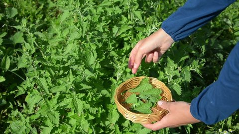 herbalist woman girl hand pick balm mint herbal plant leaves in garden. Alternative medicine.