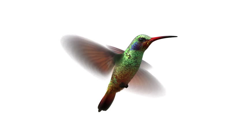 Humming bird, looped 3d animation. alpha-matte (use curves for transparency settings) | Shutterstock HD Video #5562029